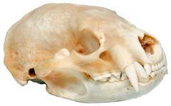 Real Bone American Badger Skull