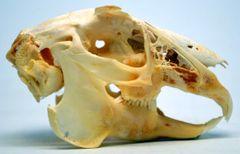 Real Bone Jackrabbit Skull