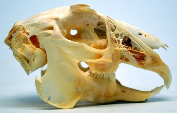 Real Bone Jackrabbit Skull