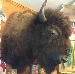 North American Bison (Buffalo) Shoulder Mount