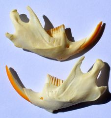 Real Bone Muskrat Jaws