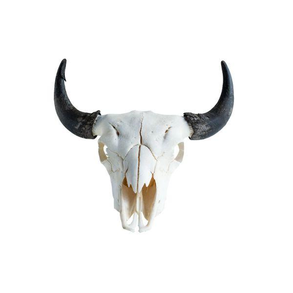 Real Bone Buffalo (Bison) Skull