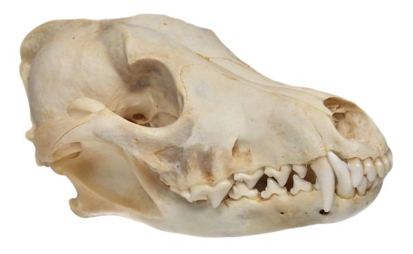 Real Bone Coyote Skull