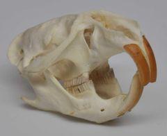 Real Bone Muskrat Skull