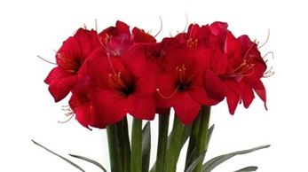 Red Amaryllis Bulb