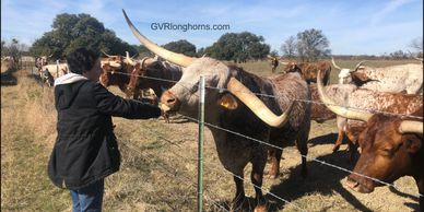 Texas longhorn cattle newsletter, gvrlonghorns newsletter, Texas longhorn bull for sale in Texas