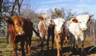 Texas longhorn calves for sale, longhorn calf, gvr longhorns, Texas longhorn cattle, Texas longhorn