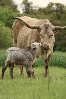 Texas longhorn cattle for sale in Texas, Texas longhorn cattle, gvrlonghorns, longhorn cow, longhorn