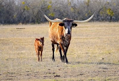 Texas longhorn cattle facts, Texas longhorn cattle resources, Texas longhorn cattle, GVR longhorns