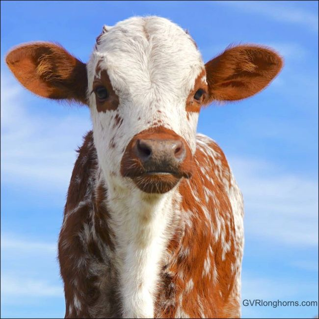 longhorn farm blog, Texas longhorn cattle, Texas longhorn cattle facts, longhorn calf, farm blog