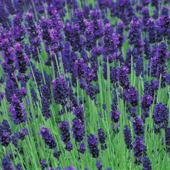 Lavender Oil 100% Pure 2 oz