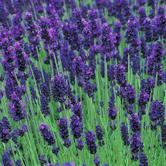 Calming Lavender Body Scrub