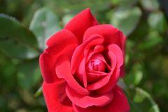 Deodorant - Natural ---no aluminum Rose