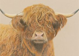 A highland cow with sticks stuck in it's hair - colour pencil drawing