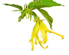 Ylang Ylang Essential Oil (#1)