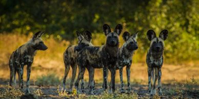 Painted Dogs Wolves Mana Pools Safari