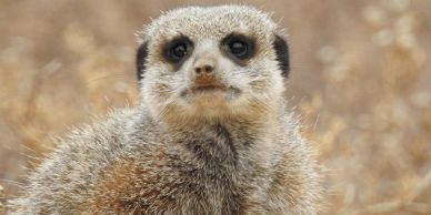 Meerkat Outdshoorn South Africa and Vic Falls Tour