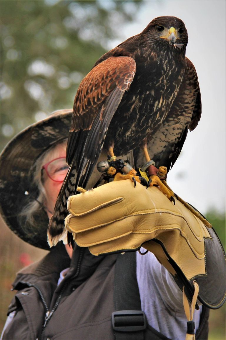 A guest with 'Copper' male Harris' hawk.