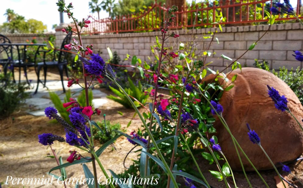 Garden Design by Perennial Garden Consultants. Lavender and penstemon.