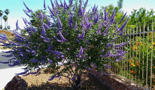 Chaste tree, Vitex agnus-castus. Photo by Perennial Garden Consultants.