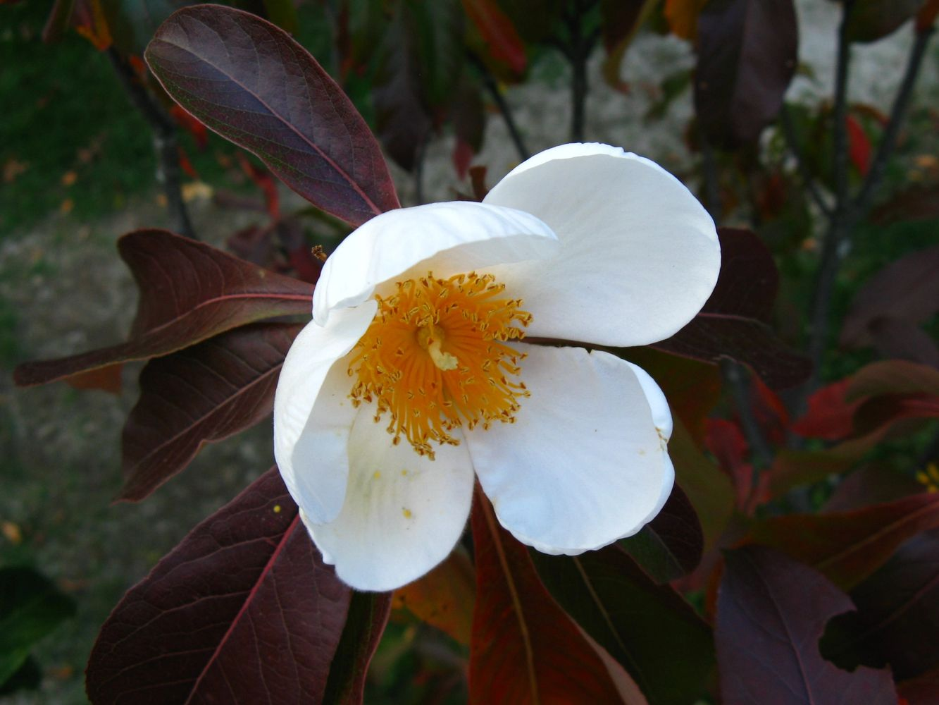 Franklinia alatamaha is one of the many rare and outstanding ornamental plants found at Homegrown