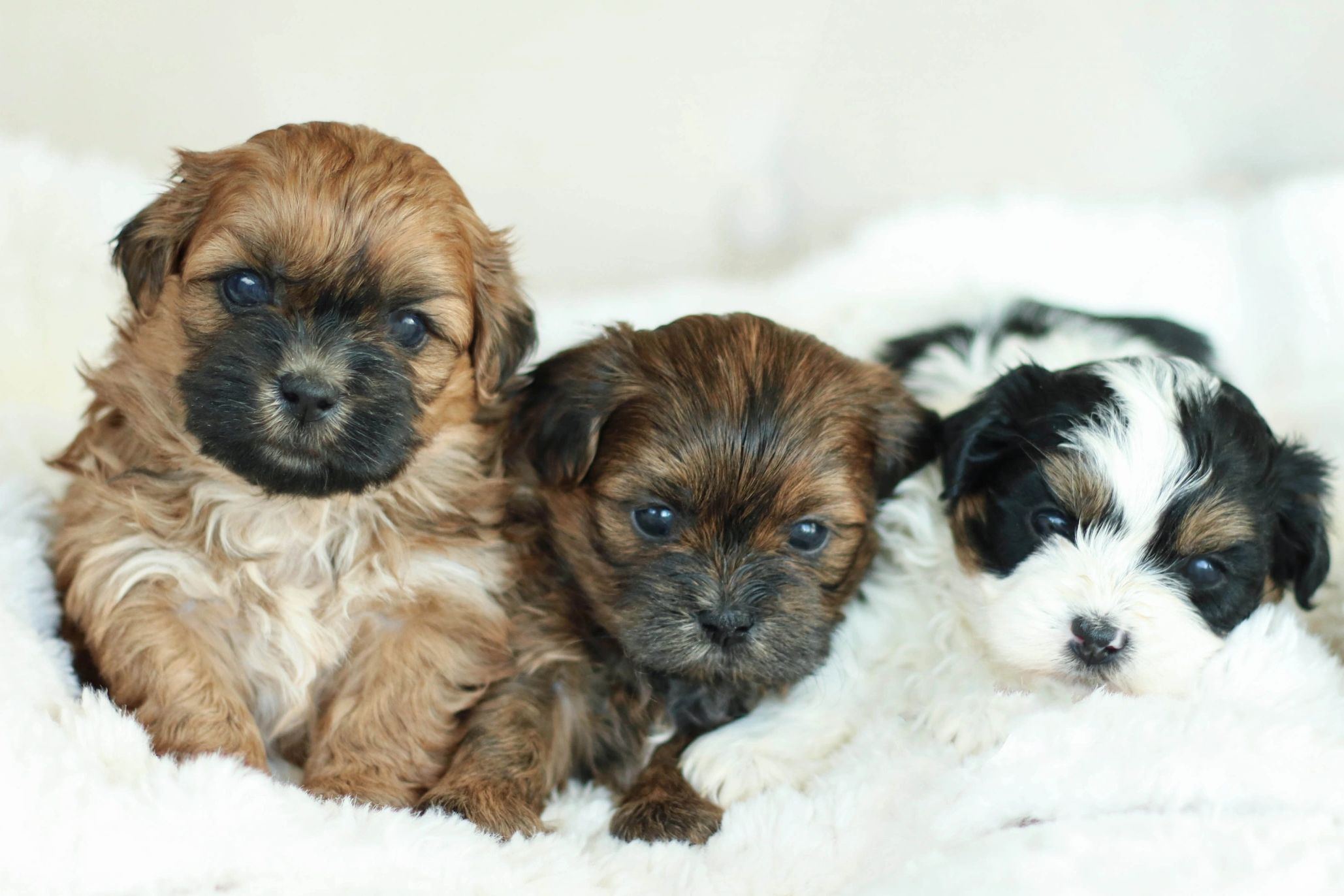 Shichon puppies for sale, Shichon puppies, Shihpoo puppies, teddy bear puppies, poodle mix, shichon
