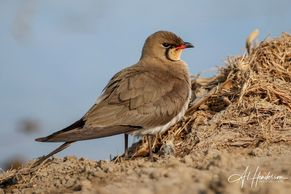 Collared Pratincole is one of our most requested birds on tours of the Ebro Delta in Spain