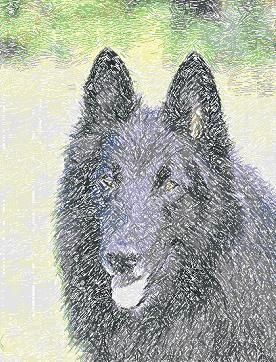 Belgian Shepherd