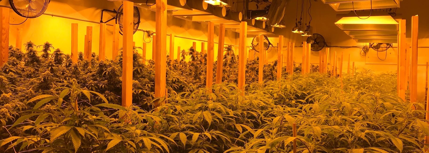 Large number of cannabis plants in growing facility.