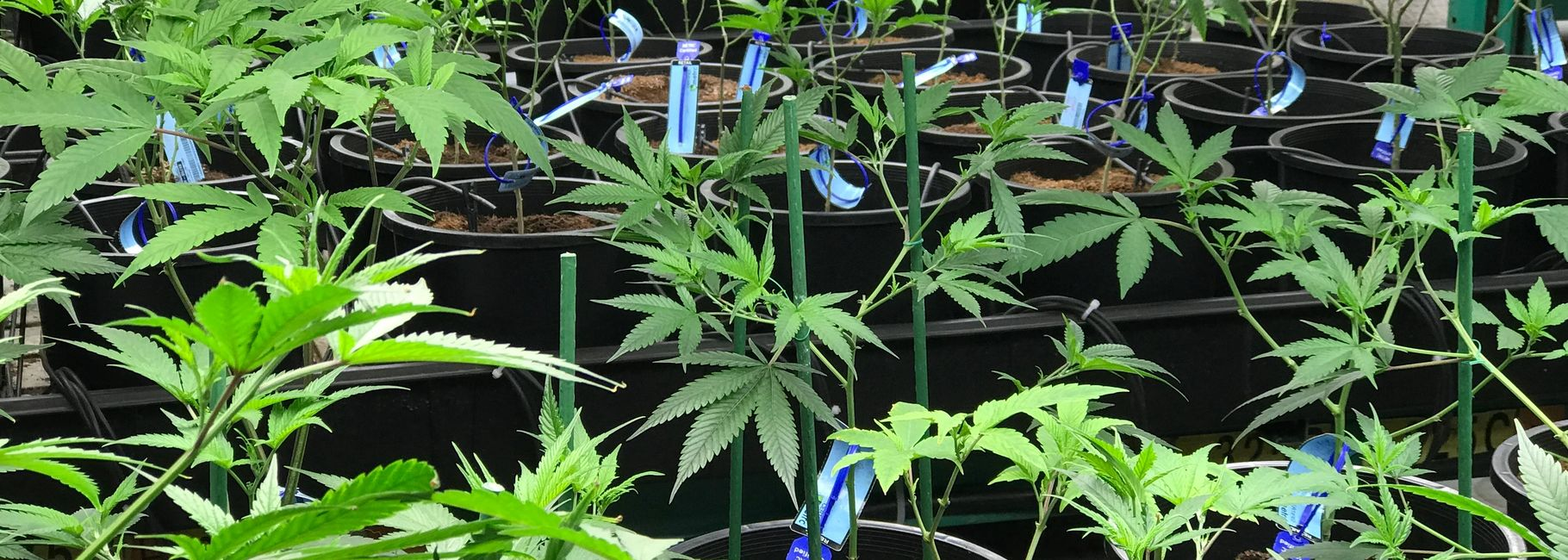Cannabis plants in growing facility.