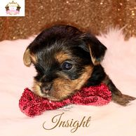 Yorkies for sale in Sugarland. Yorkies for sale in Conroe. Yorkies for sale in the Woodlands. Teacup