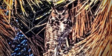 Great Horned Owl in Joshua Tree.  Photo Credit: Travis Puglisi