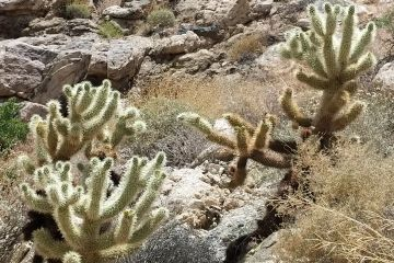 Bigelow Cholla in southern canyons of Joshua Tree National Park.