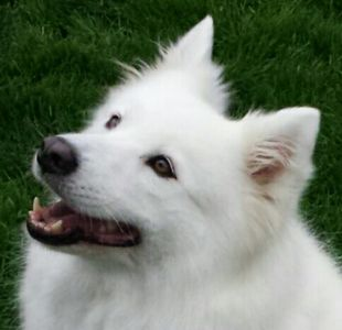 Photos of newly rescued Samoyeds coming soon.