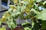 Grapevine in our Bible Garden. Laverne makes grape juice for our communion from tis plant