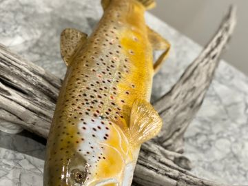 BROWN TROUT - SOLD