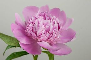 Flower District NYC Wholesale Flowers  Flower Supply Flower Market NYC peony