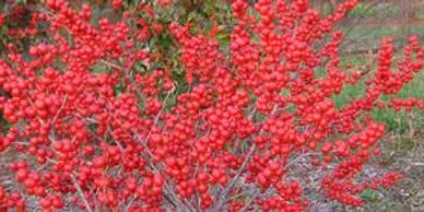ilex berry Flower District NYC Wholesale Flowers Flower Supply Flower Market NYC
