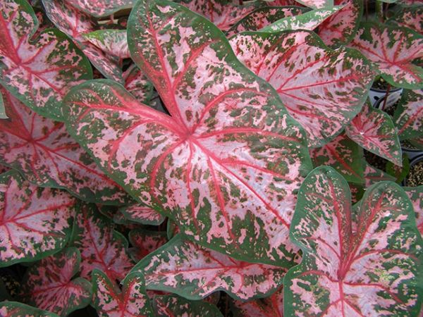 Caladium 'Carolyn Whorton' - Price / Pkt