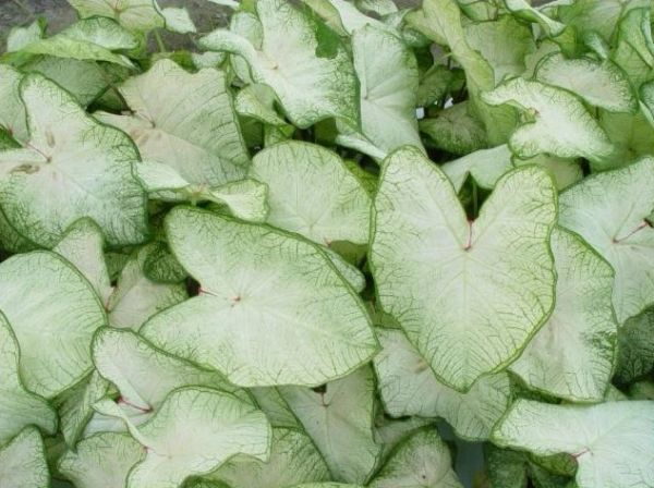 Caladium 'June Bride' - Price / Pkt (6 bulbs)