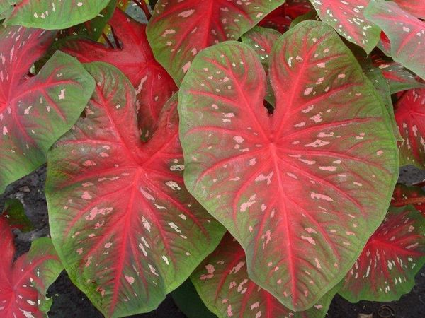 Caladium 'Red Flash' - Price / Pkt