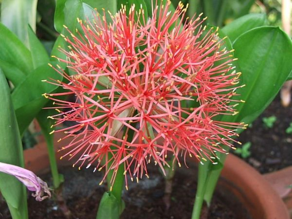 Haemanthus Multiflorus (Football Lily) - Price / Pkt