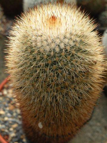 Mammillaria Bella