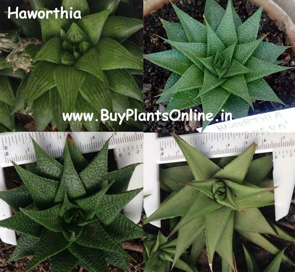 5 Nos Haworthia Varieties Assorted