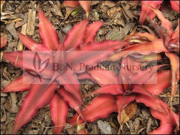 Cryptanthus Bivittatus 'Red Star'