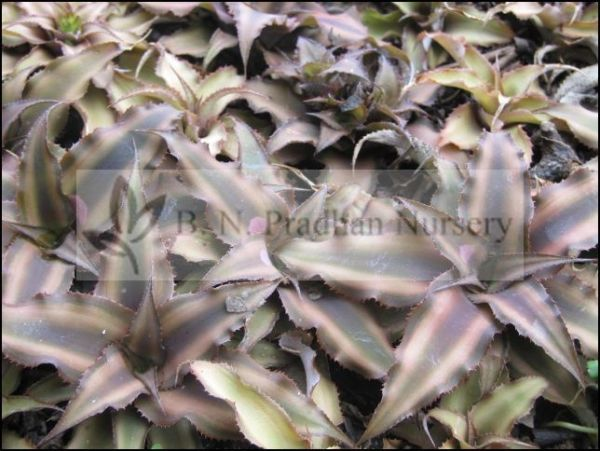 Cryptanthus Lacerdae Menescal