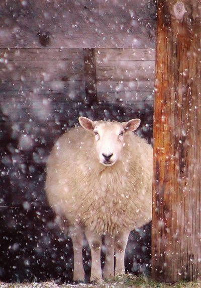 """Wear Wool"", Sheep Photograph  Popular Jamestown Sheep is capturing the hearts of it's viewers"