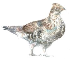Ruffed Grouse-SOLD