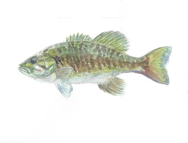 Original Watercolor - Bass