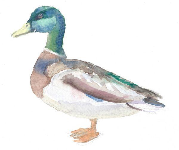 Original Watercolor - Duck Male